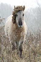 Konik in winter PVH2-21308
